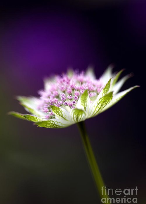 Astrantia Buckland Greeting Card featuring the photograph Astrantia Buckland Flower by Tim Gainey
