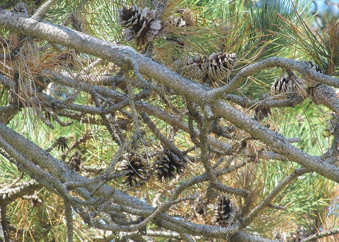 Nature Greeting Card featuring the photograph August Pine by Loretta Pokorny