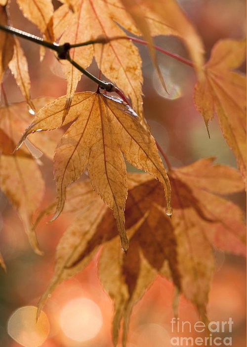 Acer Greeting Card featuring the photograph Autumn Acer by Anne Gilbert