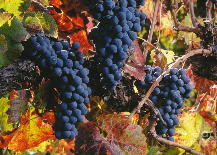 Craig Lovell Greeting Card featuring the photograph Autumn Cabernet Clusters by Craig Lovell