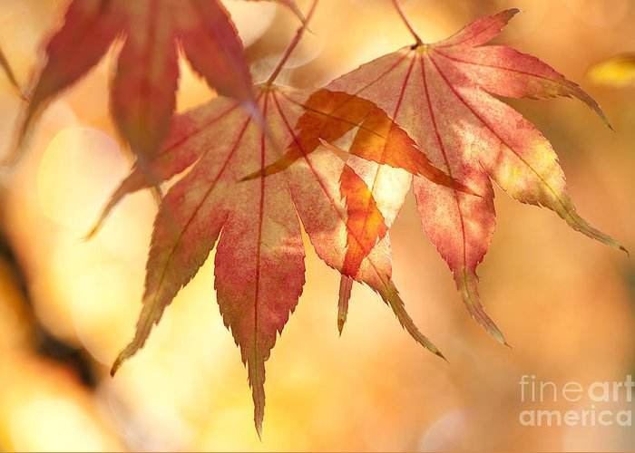 Acer Greeting Card featuring the photograph Autumn Glow by Anne Gilbert