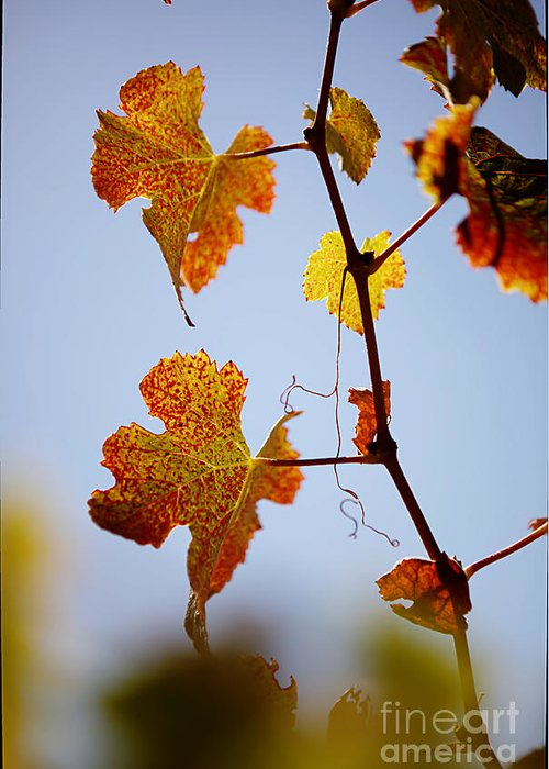 Grapes Greeting Card featuring the photograph Autumn Grapevine by Dry Leaf