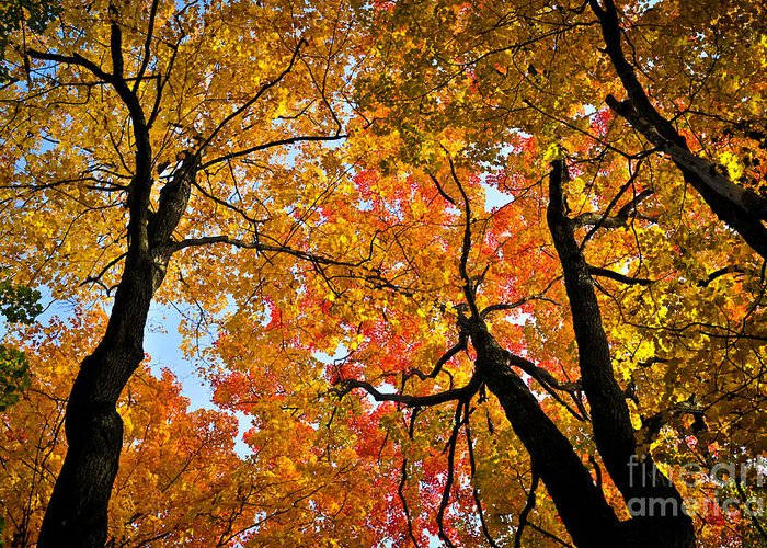Autumn Greeting Card featuring the photograph Autumn Maple Trees by Elena Elisseeva