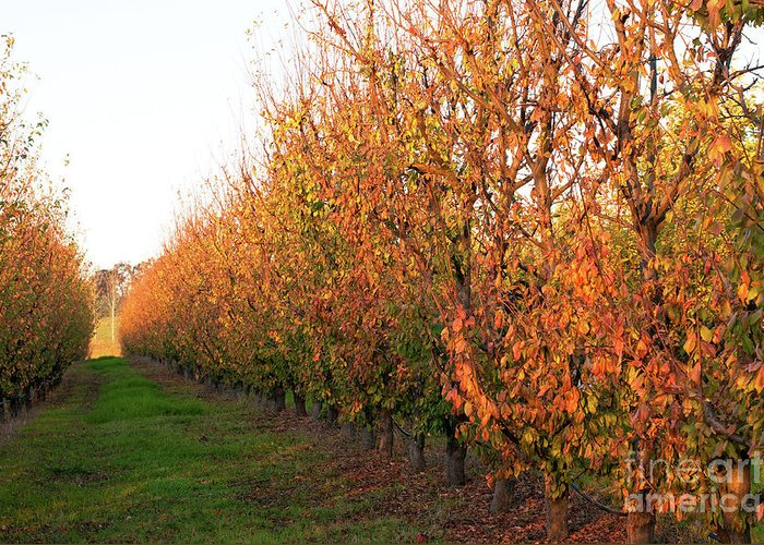 Autumn Greeting Card featuring the photograph Autumn Orchard by Rick Piper Photography