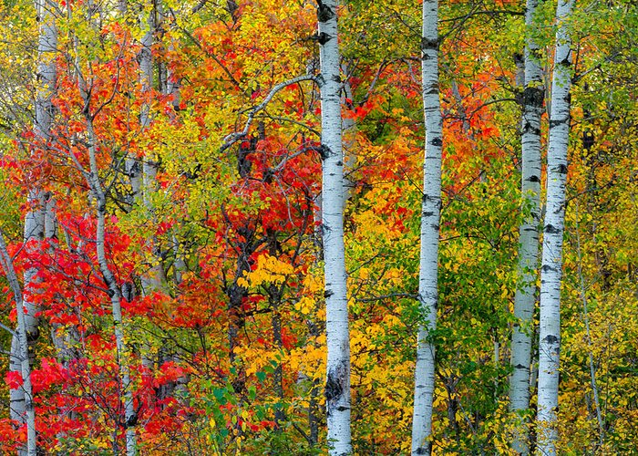autumn Palette hawk Ridge lester Park lake Superior duluth minnesota fall Color Birch seven Bridges Rd Trees Nature greeting Cards mary Amerman Greeting Card featuring the photograph Autumn Palette by Mary Amerman