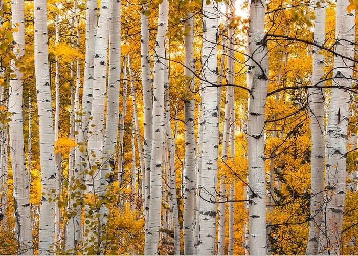 Aspen Greeting Card featuring the photograph Autumn Quaking Aspen by Jerry Ross