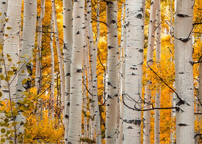 Aspen Greeting Card featuring the photograph Autumn Quaking Aspen Panoramic by Jerry Ross