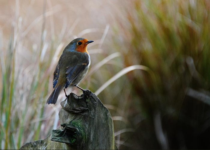 Birds Greeting Card featuring the photograph Autumn Scottish Robin by Ruth Oliver