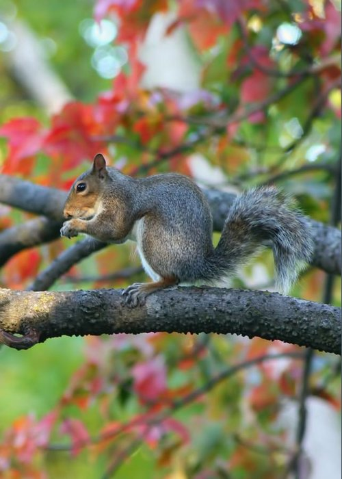 Squirrel Greeting Card featuring the photograph Autumnal Squirrel by Amanda Stadther