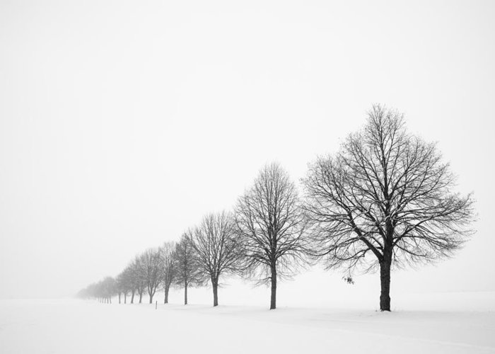 Trees Greeting Card featuring the photograph Avenue With Row Of Trees In Winter by Matthias Hauser