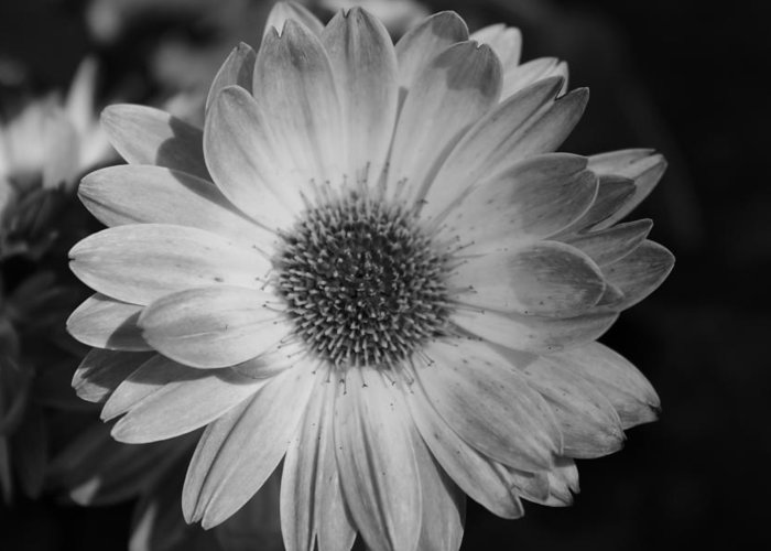 Black And White Greeting Card featuring the photograph Awaiting A Mate by Jennifer Gillis