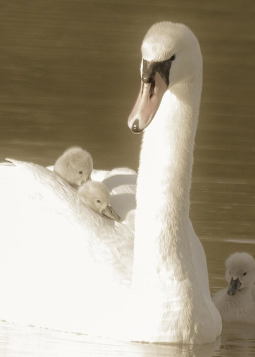 Cygnet Greeting Card featuring the photograph Awaiting His Turn... by Will Bailey