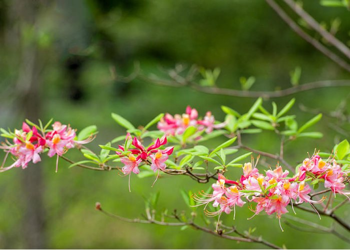 Ponticum Rhododendron. Rhodedendron Greeting Card featuring the photograph Azalea Run By Zina Zinchik by Zina Zinchik