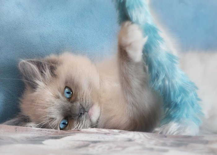 Ragdoll Kittens Greeting Card featuring the photograph Baby Blues by Lori Deiter