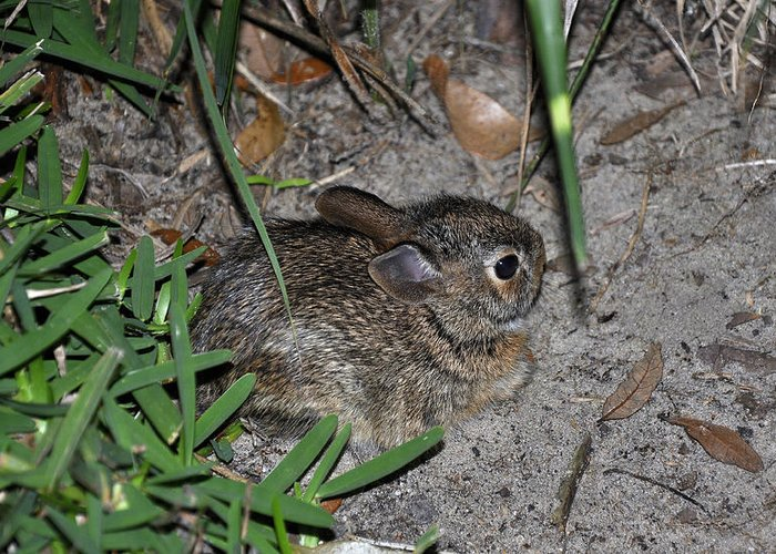 Animals Greeting Card featuring the photograph Baby Bunny by Deborah Good