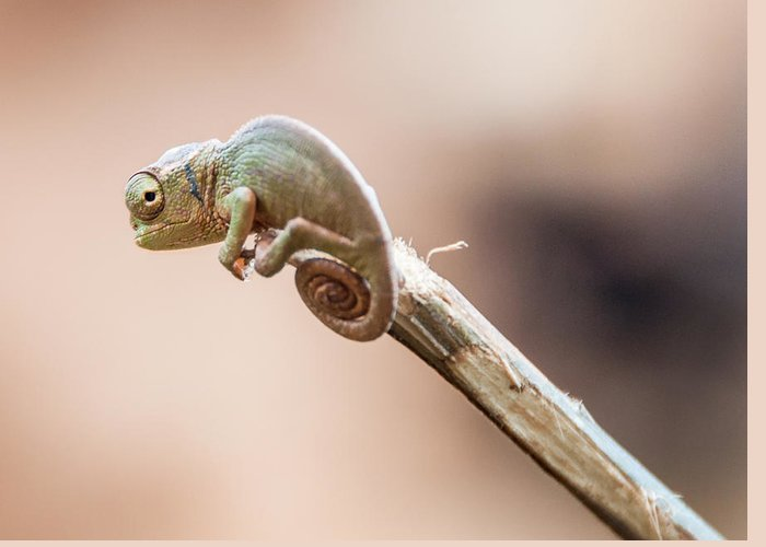 Chameleon Greeting Card featuring the photograph Baby Chameleon by Luca Benazzi