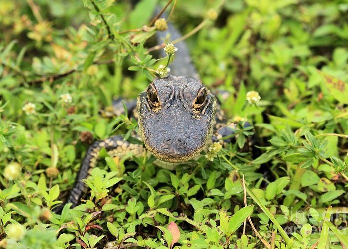 Alligator Greeting Card featuring the photograph Baby Gator by Adam Jewell