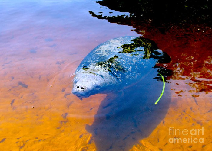 Manatee Greeting Card featuring the photograph Baby Manatee 2 by Carey Chen