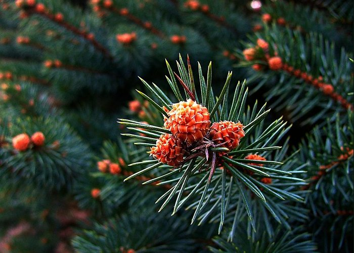Pine Cones Greeting Card featuring the photograph Baby Pinecones by Julie Dant