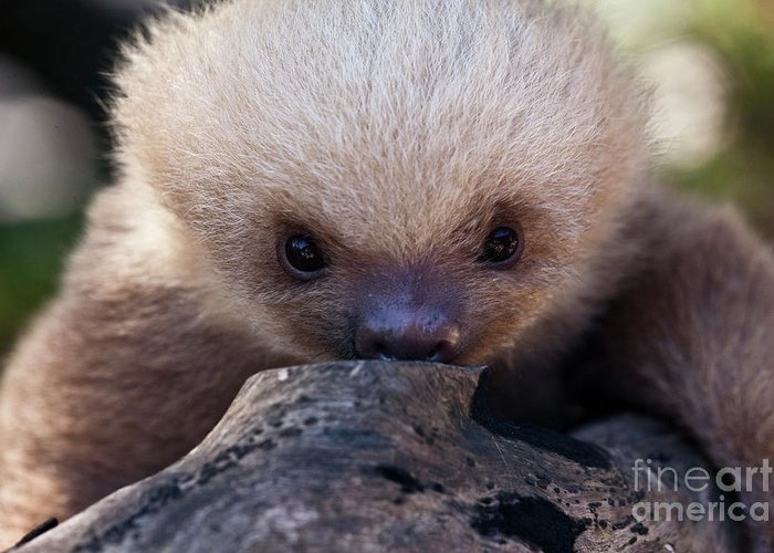 Sloth Greeting Card featuring the photograph Baby Sloth 2 by Heiko Koehrer-Wagner