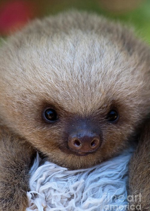 Sloth Greeting Card featuring the photograph Baby Sloth by Heiko Koehrer-Wagner