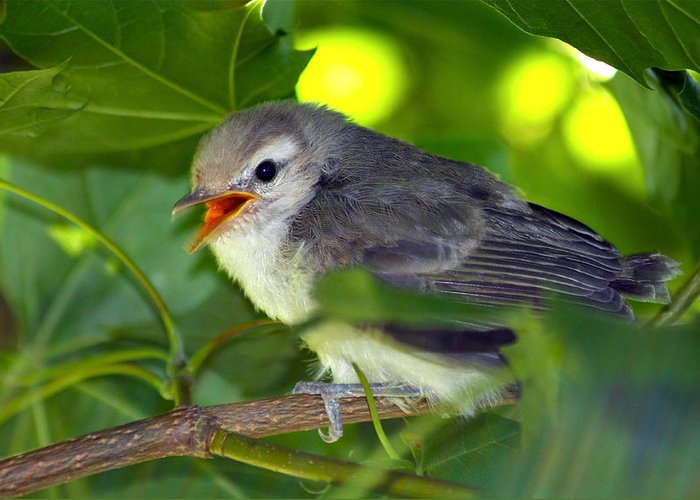 Sparrow Greeting Card featuring the photograph Baby Sparrow In The Maple Tree by Karon Melillo DeVega