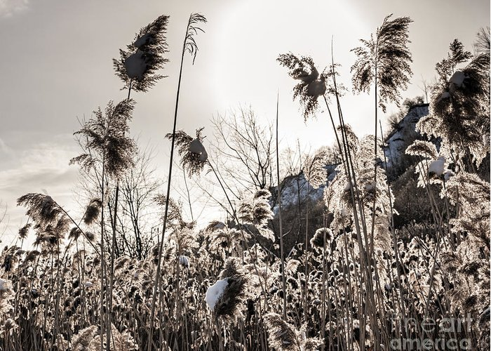 Reeds Greeting Card featuring the photograph Backlit Winter Reeds by Elena Elisseeva