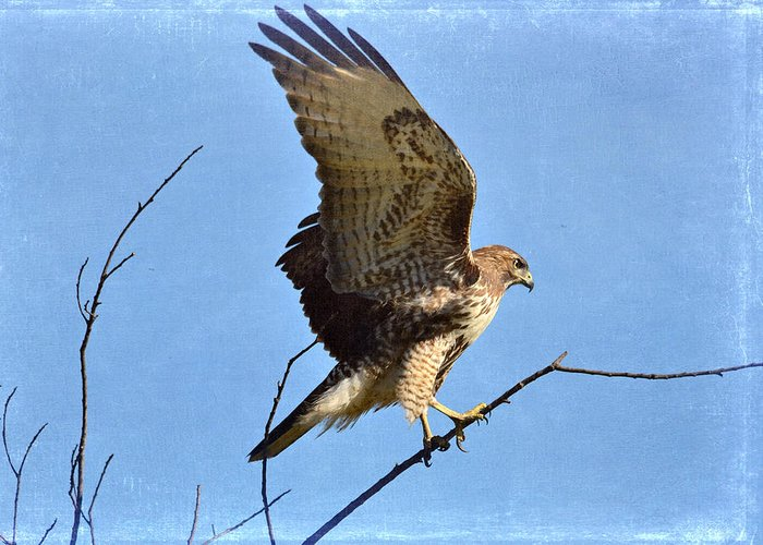 Red Tailed Hawk Greeting Card featuring the photograph Balancing Act by Fraida Gutovich