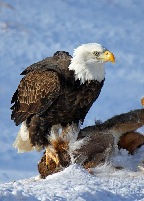 Bald Eagle Greeting Card featuring the photograph Bald Eagle And Carcass by Michael Johnk