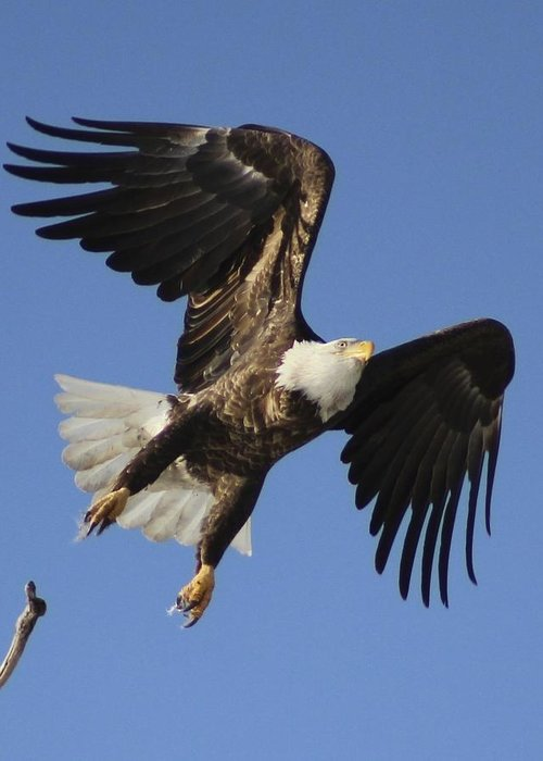 Bald Eagle Release Greeting Card featuring the photograph Bald Eagle Ascent 4 by Roger Rekstad