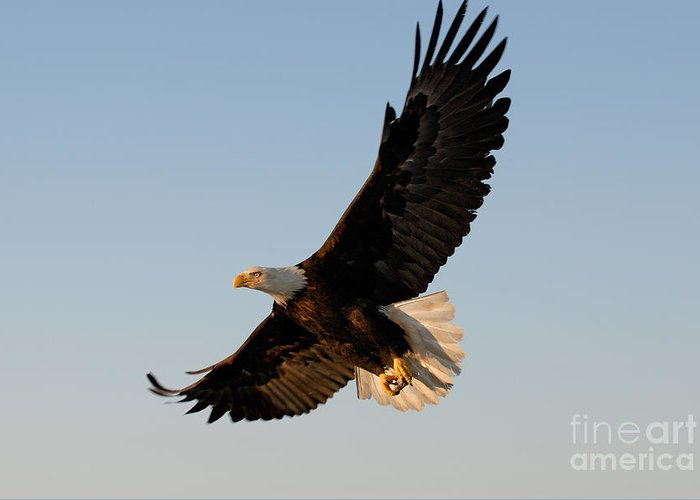 Animal Greeting Card featuring the photograph Bald Eagle Flying With Fish In Its Talons by Stephen J Krasemann
