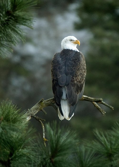 Bald Eagle Greeting Card featuring the photograph Bald Eagle in Tree by Paul DeRocker