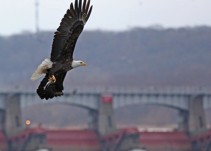 Nature Greeting Card featuring the photograph Bald Eagle Leaves With Fish At Lock And Dam 14 by Mike Dickie