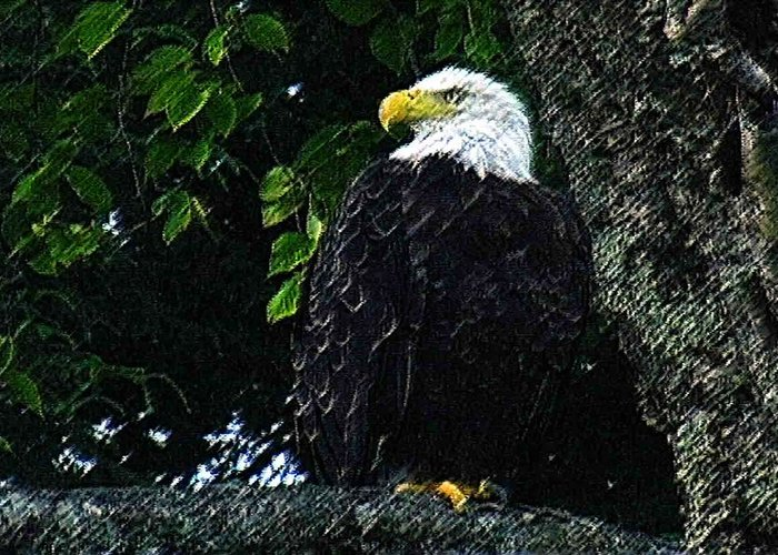 Close Up Image Of A Bald Eagle Greeting Card featuring the photograph Bald Eagle by Pat Now