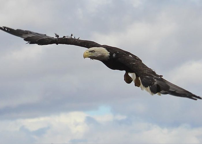 Bald Eagle Release Greeting Card featuring the photograph Bald Eagle Release 2 by Roger Rekstad