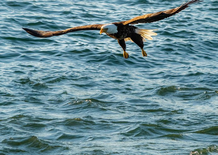 American Eagle Greeting Card featuring the photograph Bald Eagle by Saurav Pandey
