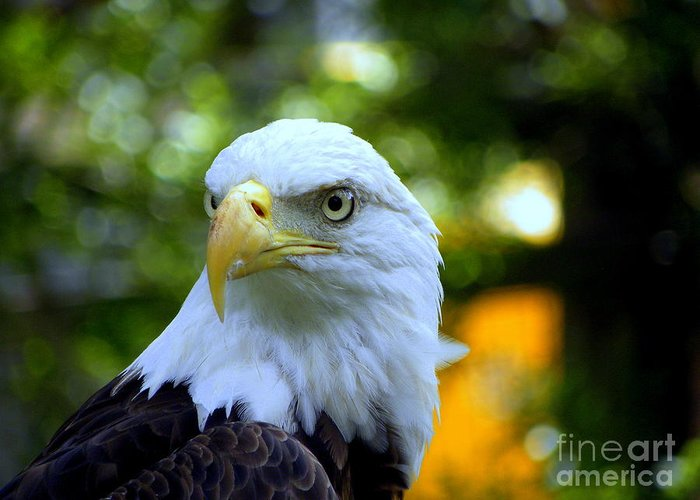 Bald Greeting Card featuring the photograph Bald Eagle by Terri Mills