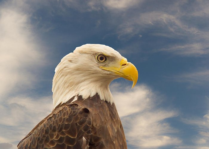 Eagle Greeting Card featuring the photograph Bald Eagle With Piercing Eyes 1 by Douglas Barnett