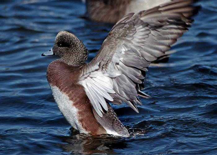 American Widgeon Greeting Card featuring the photograph Bald Pate by Skip Willits