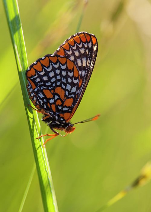 Checkerspot Greeting Cards