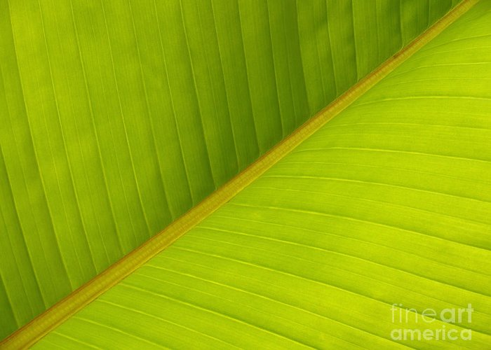 Leaf Greeting Card featuring the photograph Banana Leaf Diagonal Pattern Close-up by Anna Lisa Yoder