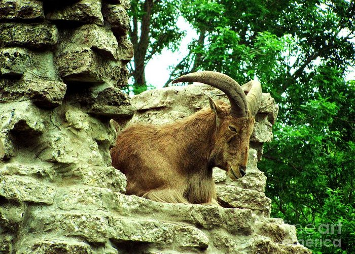 Barbary Sheep Greeting Card featuring the photograph Barbary Sheep 2 by Margaret Newcomb