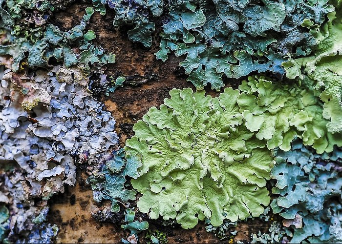 Lichens Greeting Card featuring the photograph Bark Art by Christopher Burnett