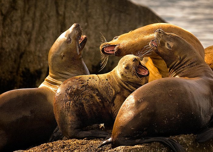 Sea Lions Greeting Card featuring the photograph Bark Bark by Rick Barnard