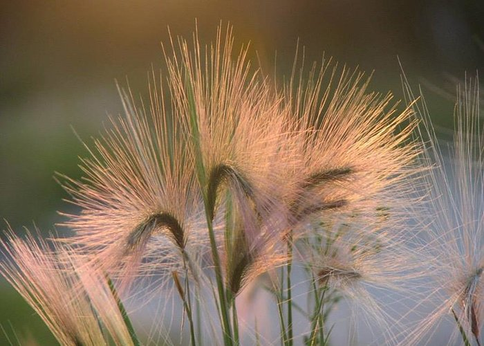 Pasture Greeting Card featuring the painting Barley by Sharon Duguay
