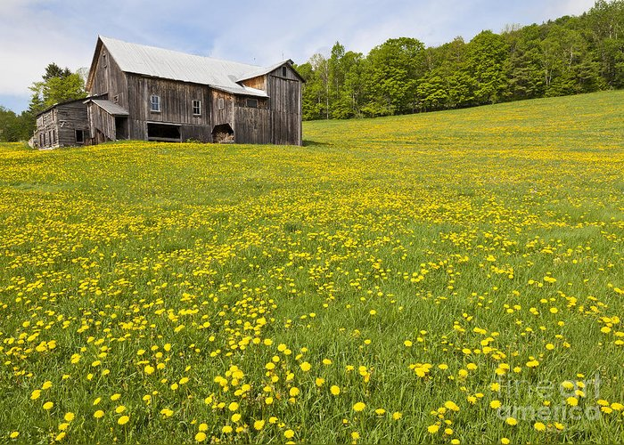 Spring Greeting Card featuring the photograph Barn In Dandelion Field by Alan L Graham
