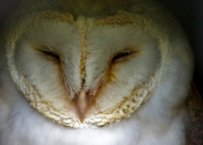 Bird Greeting Card featuring the photograph Barn Owl by Trevor Kersley