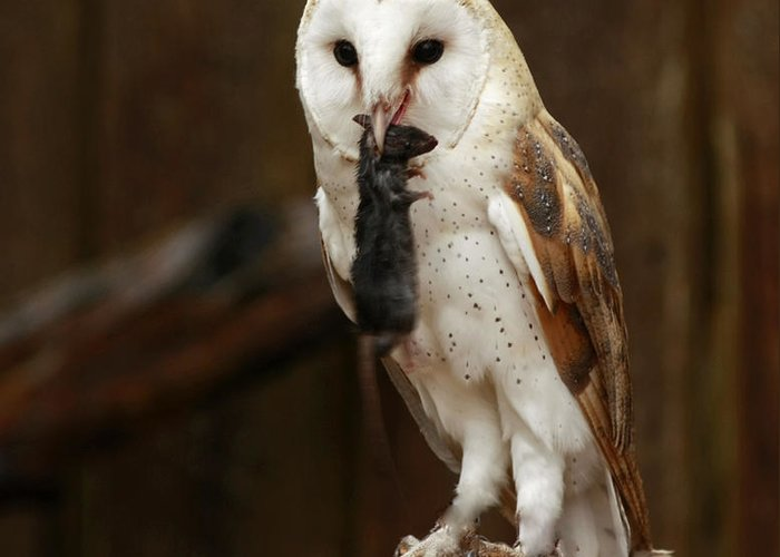 Barn Greeting Card featuring the photograph Barn Owl With Catch Of The Day by Inspired Nature Photography Fine Art Photography