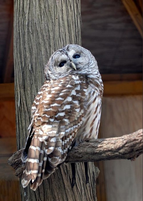 Barred Owl Greeting Card featuring the photograph Barred Owl 264 by Joyce StJames