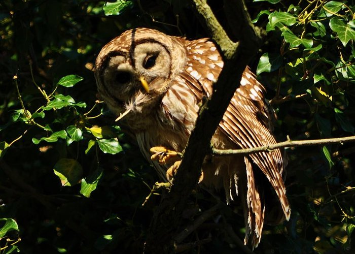 Barred Owl Greeting Card featuring the photograph Barred Owl Hello by William Fox